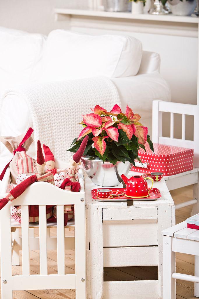 Kolorowe poinsecje wpisały się w tradycję Bożego Narodzenia na całym świecie. Oprócz popularnej czerwonej odmiany występują w licznych kolorach i kształtach, które zapewniają nieograniczone możliwości aranżacyjne. <BR />