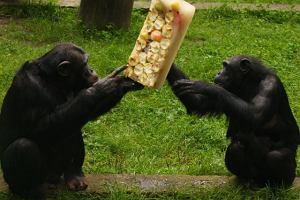 Dyrektor zoo: Samiec ma�py kryje samic� i je w tym czasie banana. A niech te zwierz�ta robi�, co chc�