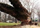 Jedno z setek drzew wci�tych w Ogrodzie Krasi�skich