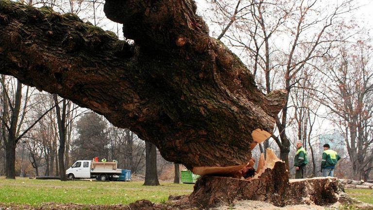 Jedno z setek drzew wciętych w Ogrodzie Krasińskich