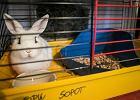 Żywe króliki jako gratis do zakupów. Po świętach trafiają najczęściej do adopcji