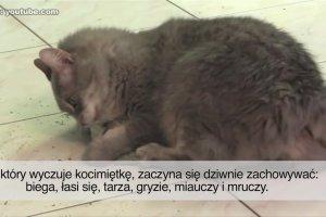 Dlaczego koty szalej� na punkcie kocimi�tki? Ods�aniamy fakty na temat ro�liny