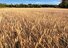 PSL odpowiada Kaczy�skiemu. Chce utrudni� cudzoziemcom wykup ziemi