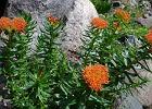 R�eniec g�rski (Rhodiola rosea L.)