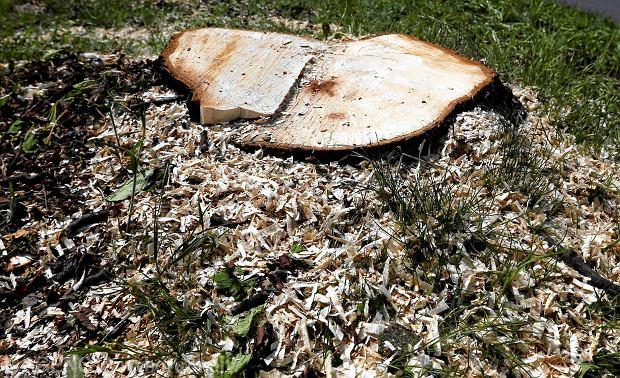 Dla drzew brakło miłosierdzia. Siostry zapłacą ponad 3 mln za wycięcie starych kasztanowców?