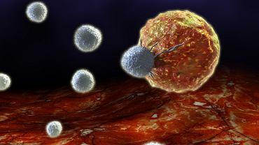 Czy specjalnie zmodyfikowane genetycznie wirusy, podobnie jak limfocyty T (na zdjęciu), element naszego układu immunologicznego, będą w przyszłości atakować nowotwory? Jest szansa, że tak, a w dodatku okażą się bardziej skuteczne. Na razie jednak raczej same padną ofiarą limfocytów