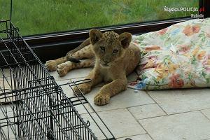 Dwa lwy, trzy krokodyle i jeden właściciel. Policjanci z Rybnika zlikwidowali nielegalną hodowlę