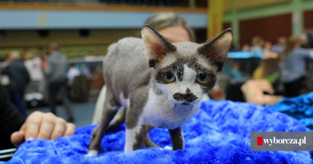 Koty Na Medal Międzynarodowa Wystawa Kotów Rasowych Na Arenie Ursynów