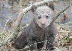 Malutki, wychudzony niedźwiadek błąkał się przy drodze. Uratowali go leśnicy z Cisnej
