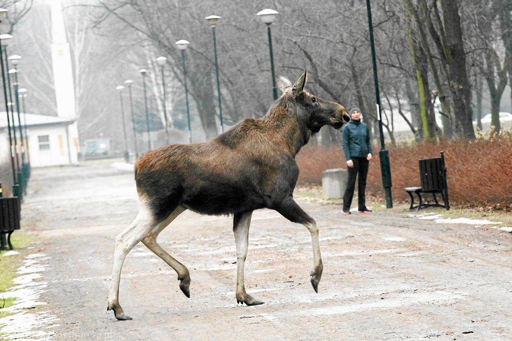 Ten łoś wybrał się w lutym na wycieczkę na Wolską i Redutową. Trzeba go było uśpić i przewieźć z powrotem do lasu