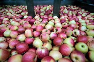 Sprzedaż polskich jabłek zawieszona. Problem jest poważny