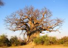 Baobab - superjedzenie wprost z drzewa życia