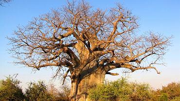Potężny baobab ma wiele zastosowań - nadaje się do jedzenia, przygotowuje się z niego naturalne leki, a także wykorzystuje do wyrobu przedmiotów codziennego użytku.