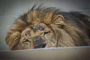 """Tragedia w gda�skim zoo, lew zagryz� lwic�. """"Mo�e by�a dla niego zbyt butna?"""""""