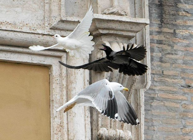 Gołębie pokoju zaatakowane przez wronę. Chwilę wcześniej z papieskiego okna wypuściła je dwójka dzieci z papieżem Franciszkiem