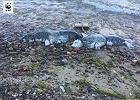 Na plaży znaleziono martwe foki z linami przywiązanymi do cegieł