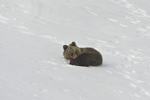 Niedźwiadek na Kasprowym. Ofuknął turystę, sturlał się i spuścił sobie na głowę małą lawinę