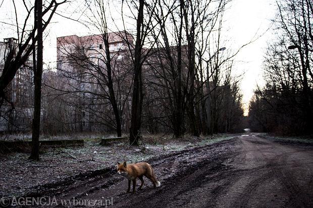 Życie wokół Czarnobyla miewa się świetnie.