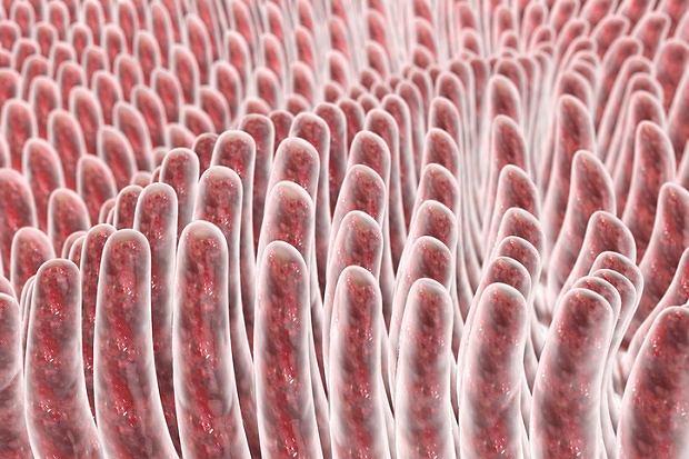Kosmki jelitowe - malutkie giganty w jelicie cienkim. Budowa, funkcje i choroby kosmków jelitowych