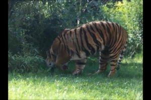 Tygrys ze wroc�awskim ogrodzie zoologicznym