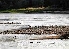 Wisła rekordowo płytka. Niski poziom wody zagraża rybom