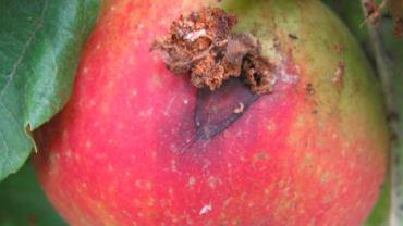 Owady drążące zawiązki i owoce