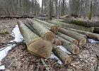 W Puszczy Białowieskiej dęby w pień! Nadleśniczy za nic ma okres lęgowy i UNESCO