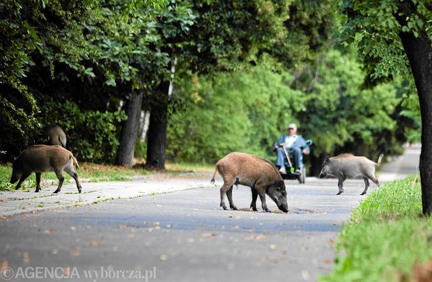 Dziki coraz częściej pojawiają się w miastach