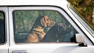 Psy myśliwskie w samochodzie