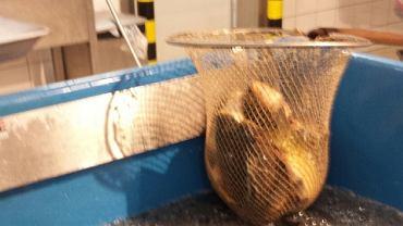 Zdjęcie karpi sprzedawanych w tym roku w szczecińskim Carrefourze w CH Atrium Molo