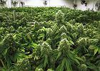 Legalizacja marihuany. Czy Europa pójdzie drogą USA?