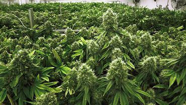 Już teraz medyczna marihuana produkowana w Holandii kosztuje 50 zł za gram. Tyle ile dobrej jakości towar od dilera