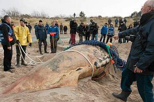 Zrobili sekcj� wieloryba znalezionego na pla�y. G�odowa�?