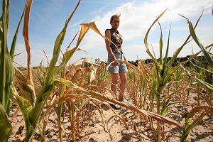 Susza pustoszy pola, ju� p� miliarda z�otych strat. Stan kl�ski �ywio�owej? Kopacz: Decyzja jutro