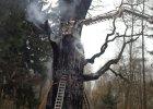 Podpalony kilka miesięcy temu dąb Chrobry wypuszcza pąki! Drzewo przeżyło pożar?