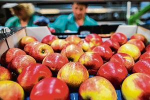 Protest sadowników. Chcą znów eksportować jabłka do Rosji. Embargo bije po kieszeniach