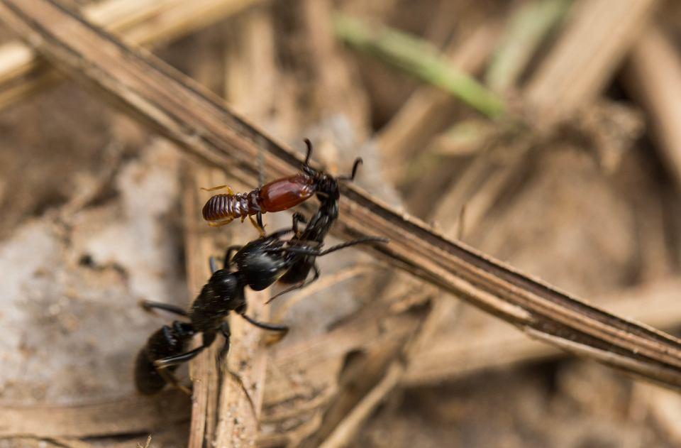 Mrówka z przyczepionym do niej termitem, który ją spowalnia, jest odprowadzana do gniazda przez drugą mrówkę.