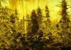 Marihuana warta 4 mln z� zabezpieczona przez policjant�w. To rekord [WIDEO, ZDJ�CIA]