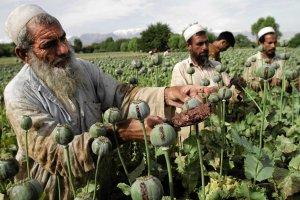 Wojn� w Afganistanie wygrali hodowcy maku