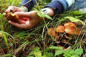 Zbieraj�c grzyby, nie kieruj si� smakiem!