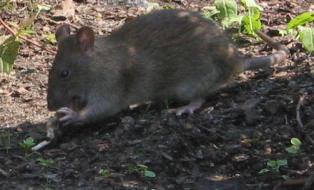 Szczury w Warszawie