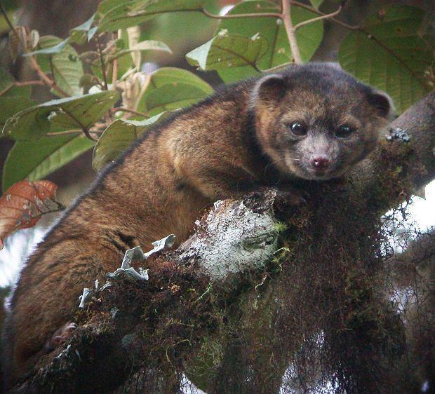 Naukowcy odkryli nowy gatunek ssaka. Olinguito wygl�da jak pluszowa maskotka