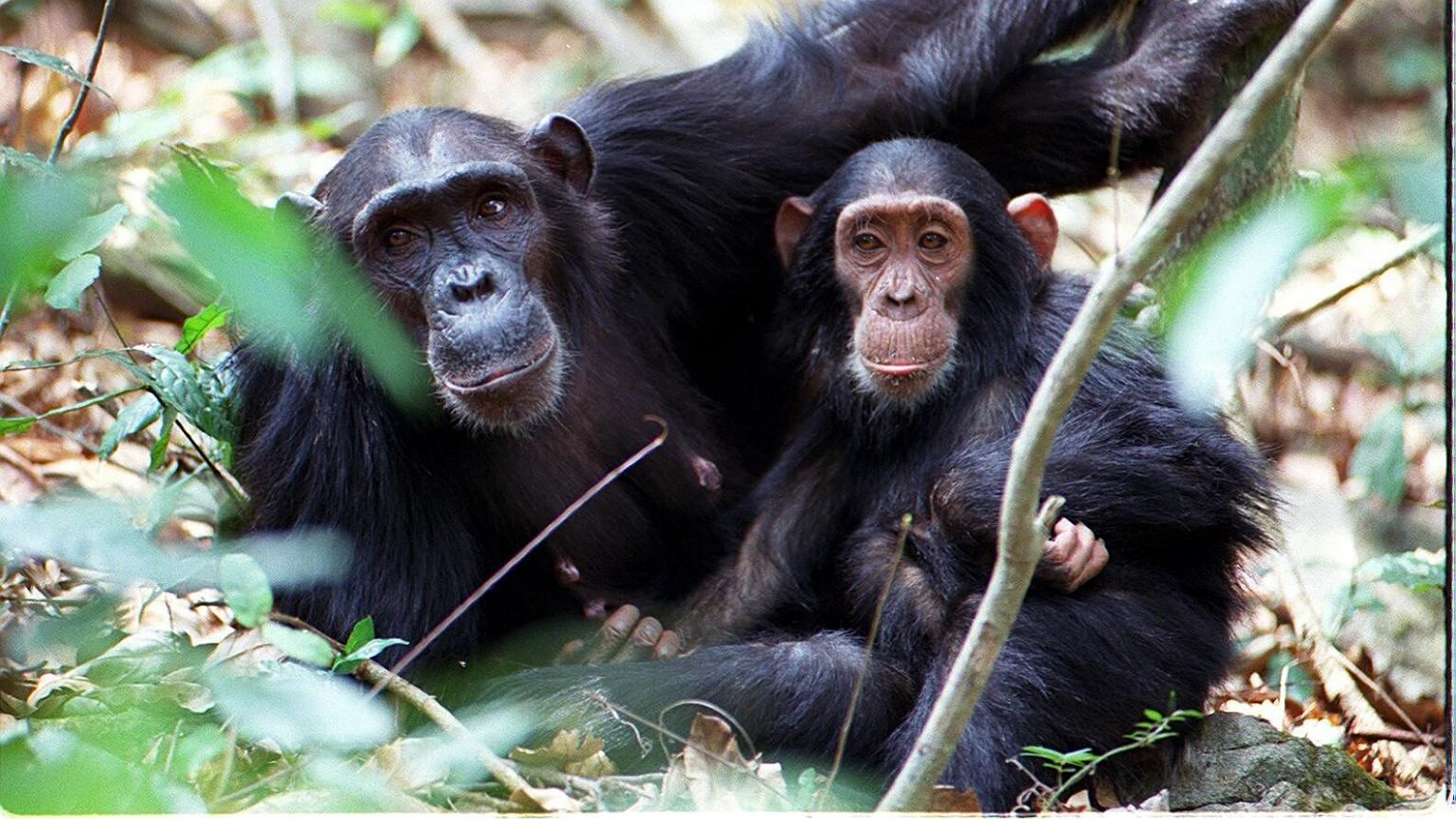 Szympansica Sandi z synem Sampsonem w Parku Narodowym Gombe w Tanzanii
