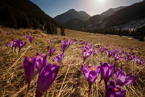 Już są! W Tatrach pojawiły się pierwsze, długo wyczekiwane krokusy [ZDJĘCIA]