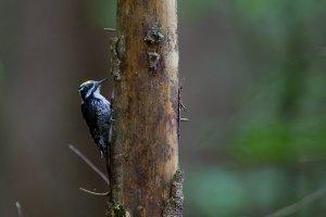 Chroni� las czy drewno? Ca�a prawda o korniku