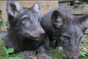 Hodowcy zwierząt futerkowych proponują opłacenie leczenia lisów uratowanych z fermy. Obrońcy zwierząt odpowiadają