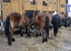 Ocalą konie od rzeźnickiego noża. Zebrali ponad 320 tys. zł. Pomagają ludzie z całej Polski