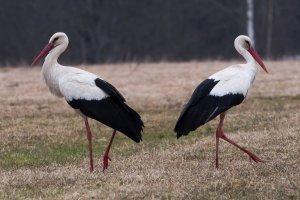 Wiosna idzie. Co na to ptaki? Dzieląsięna dwie frakcje: ryzykantów i konserwatystów