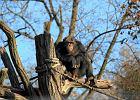 Szympansy to bardzo sprytne zwierz�ta