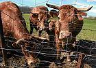 Szef weterynarii: Czesi zgodzili si� na ponowne badanie koniny